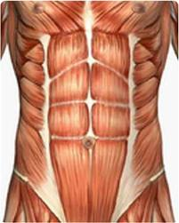 Abdominal Muscle Anatomy Dr Barry Eppley