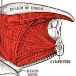 genioglossus and geniohyoid muscles attached to the chin