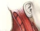 Back of Head Anatomy