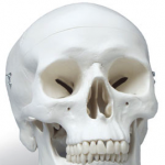 Skull Shape Dr Barry Eppley Indianapolis