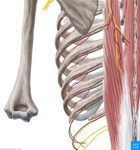 ribs and the location of the intercostal nerves