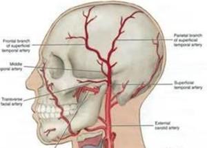 temporal artery anatomy 2