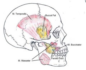 Buccal Lipetomy Fat Pad Anatomy