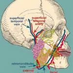 facial artery