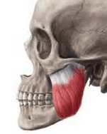 masseter muscle attachment to zygomatic arch
